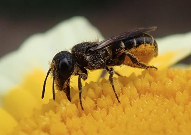 Bauchsammlerbiene